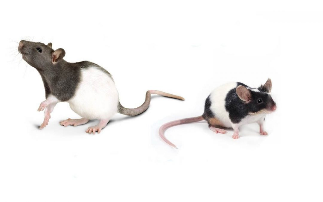 Rats vs. Mice: The Subtle Differences