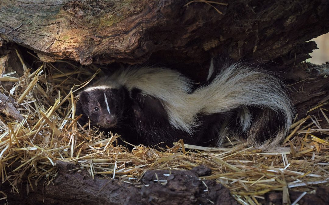 15 Quick Facts on Skunks in NY